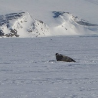 ringed seal in Adolfbukta